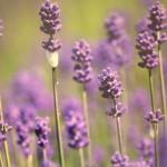 Lavendel kamer